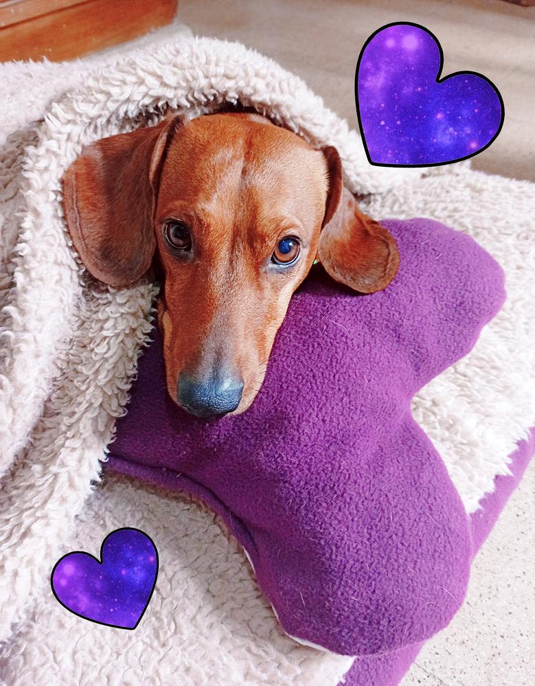 Mi perrito Fredo con su cucha púrpura y almohadita de corazón