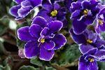 violeta67