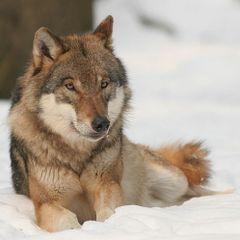 Wolf22331