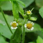 털별꽃아재비