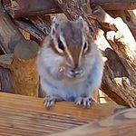 パパ助の大宮橙色栗鼠